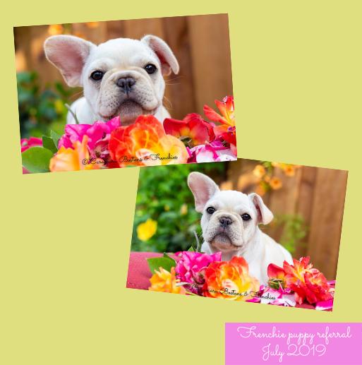 Available Puppies Vixbull French Bulldogs Louisiana